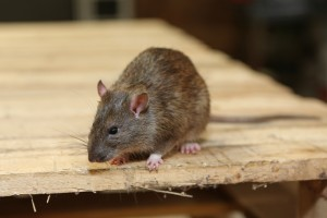 Mice Infestation, Pest Control in Kentish Town, NW5. Call Now 020 8166 9746