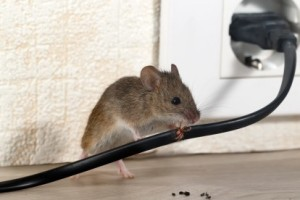 Mice Control, Pest Control in Kentish Town, NW5. Call Now 020 8166 9746