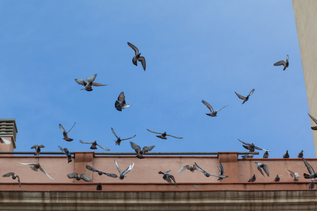 Pigeon Pest, Pest Control in Kentish Town, NW5. Call Now 020 8166 9746