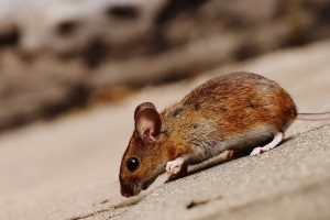 Mice Exterminator, Pest Control in Kentish Town, NW5. Call Now 020 8166 9746